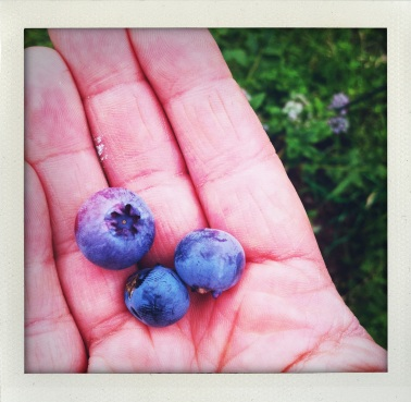 First Blueberries!