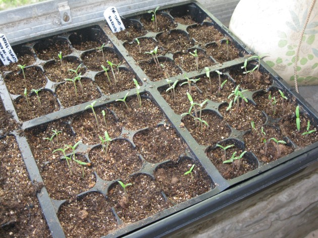 "Organic ""Beefsteak"" and Heirloom ""Big Rainbow"" Tomato Seedlings"