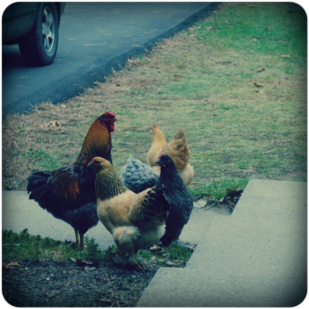 rooster and his ladies