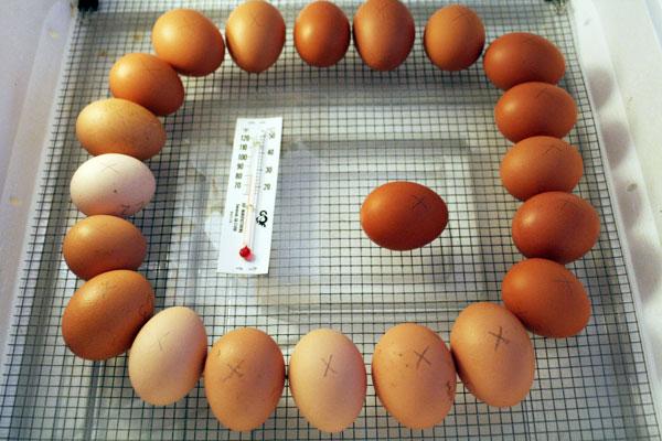 7-eggs-in-incubator-day-1