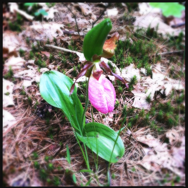 Pink Lady Slipper