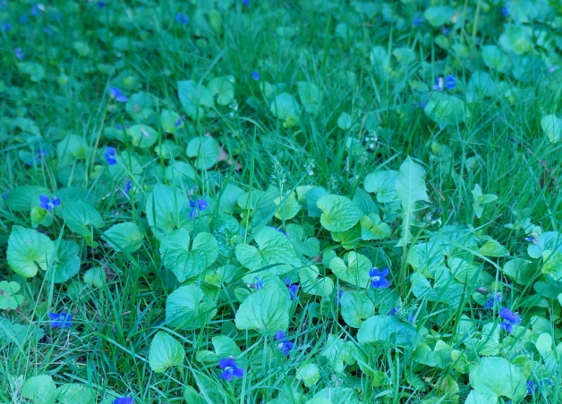 Violets in yard