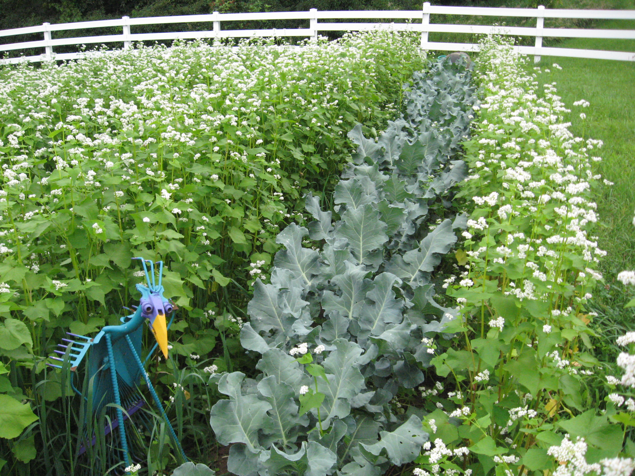 Img 1824 - Cover crops for vegetable gardens ...