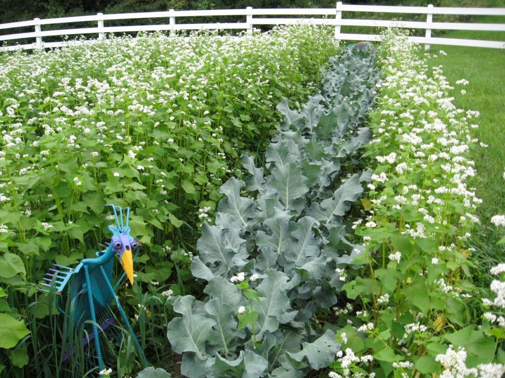 buckwheat next to a kale