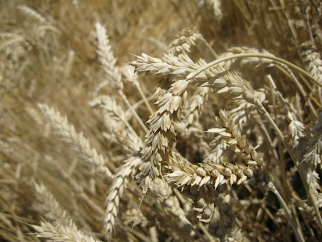 The Wheat is Ready
