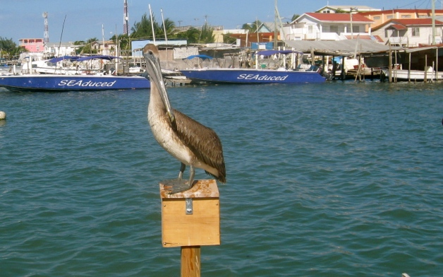 Leave some fish for the pelicans (OK this was Belize, not Massachusetts)