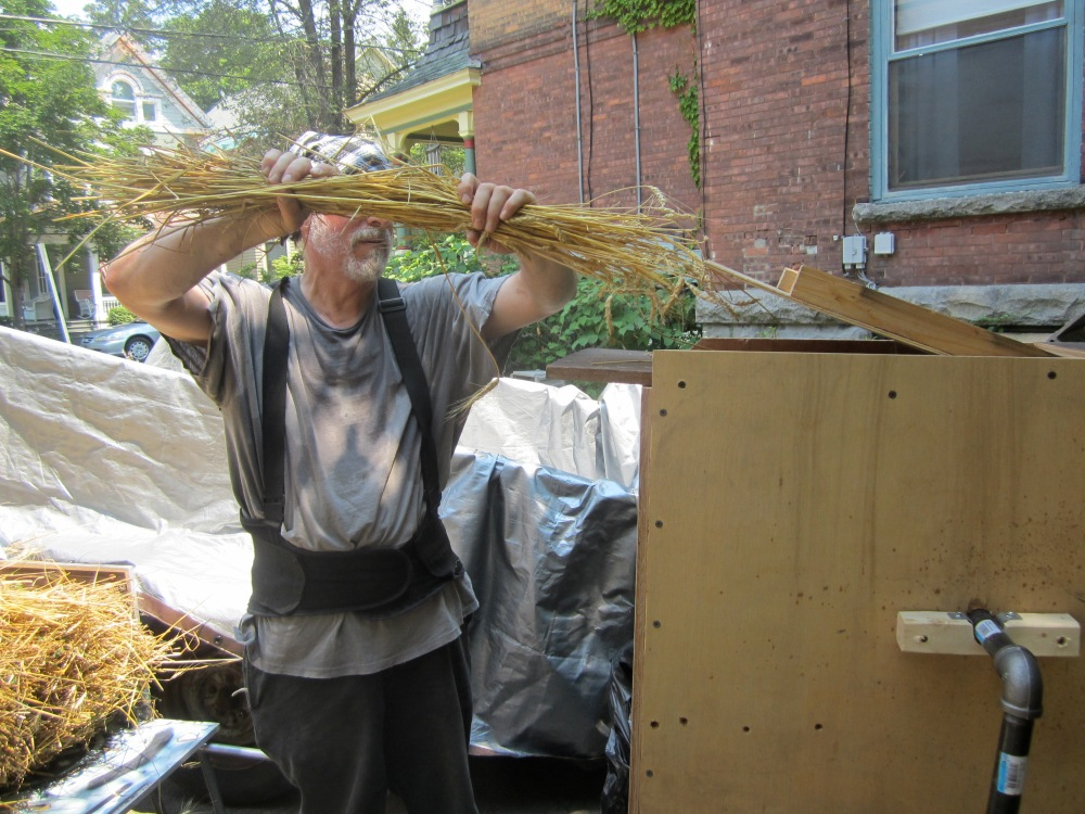 Feeding wheat into the thresher