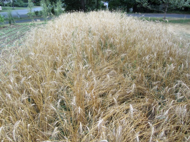 Standing wheat, ready for harvest