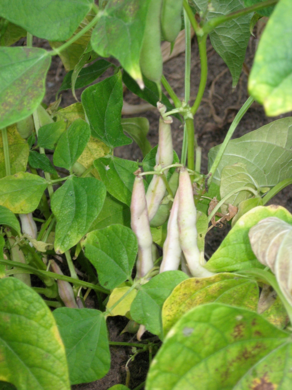 turtle beans on the vine