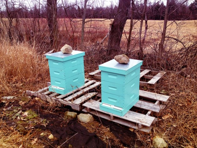 How the hives looked when I got out there. Each had 3 medium hive bodies over the winter.