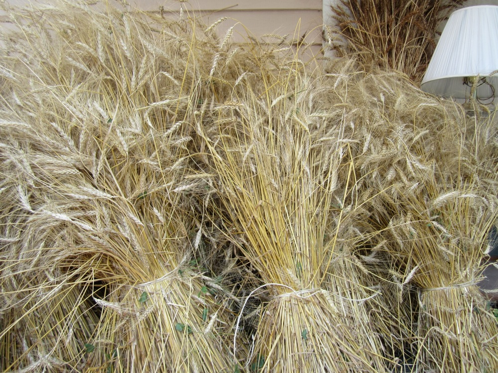 Wheat from our garden