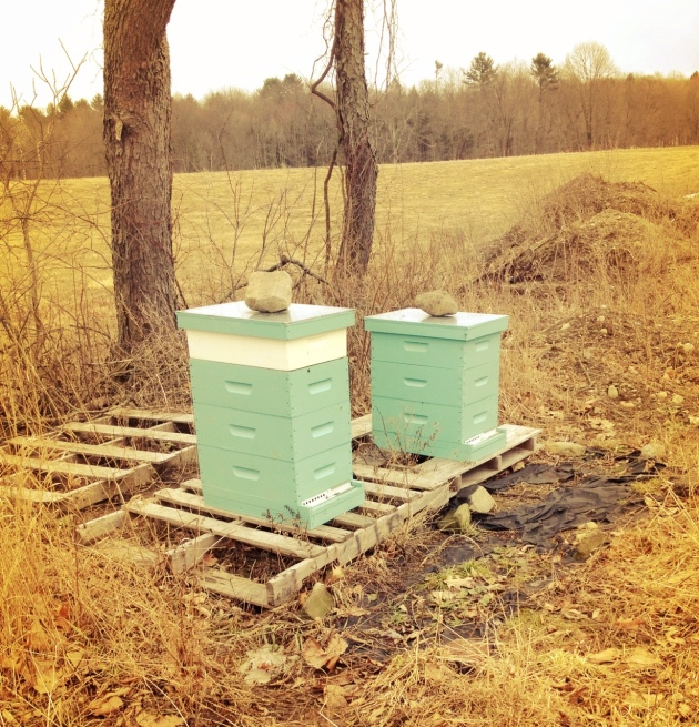 The hive on the left has its feeder box on it now. It's made of heavy styrofoam and is filled with sugar syrup for the bees to eat until things begin to flower.