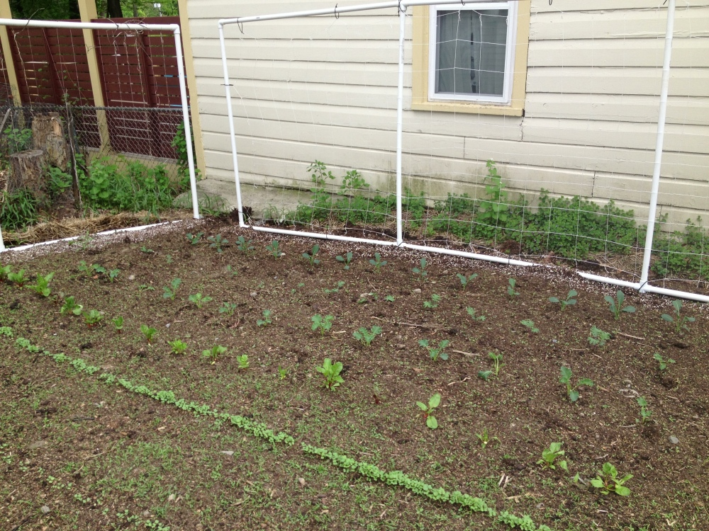 My growing area in the front of my house. It used to be my garden. Those are pea trellises made from PVC pipe and netting.