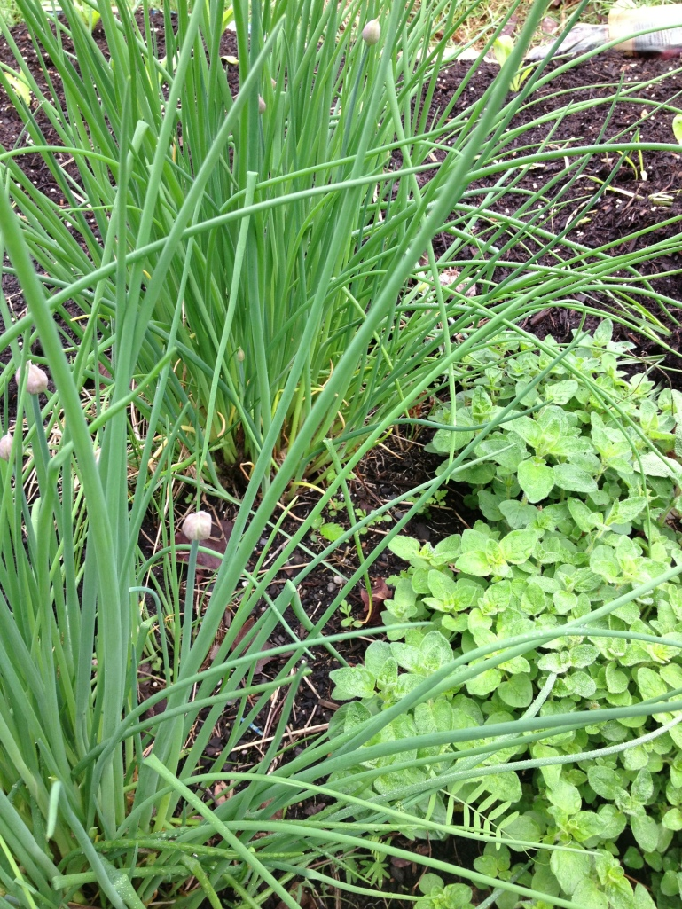Robust chives & oregano. I can't believe they made it through such a rough winter.