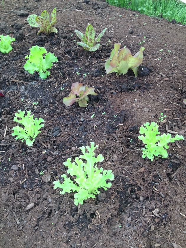 Tiny lettuce, growing strong.