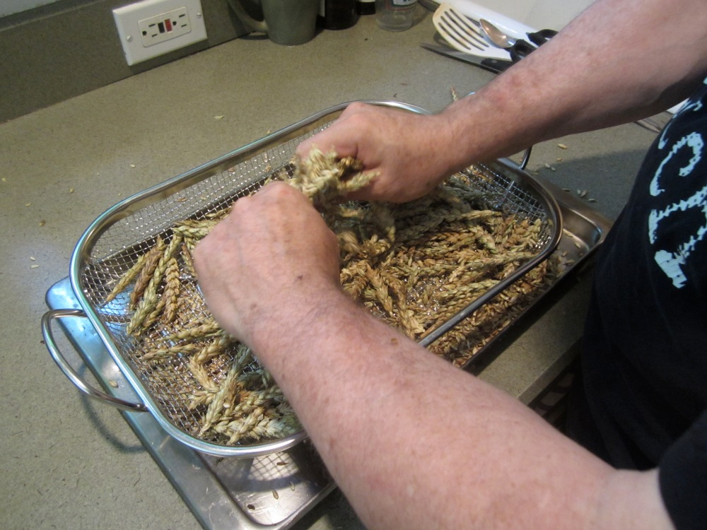 rubbing the toasted wheat to remove the grains from the heads