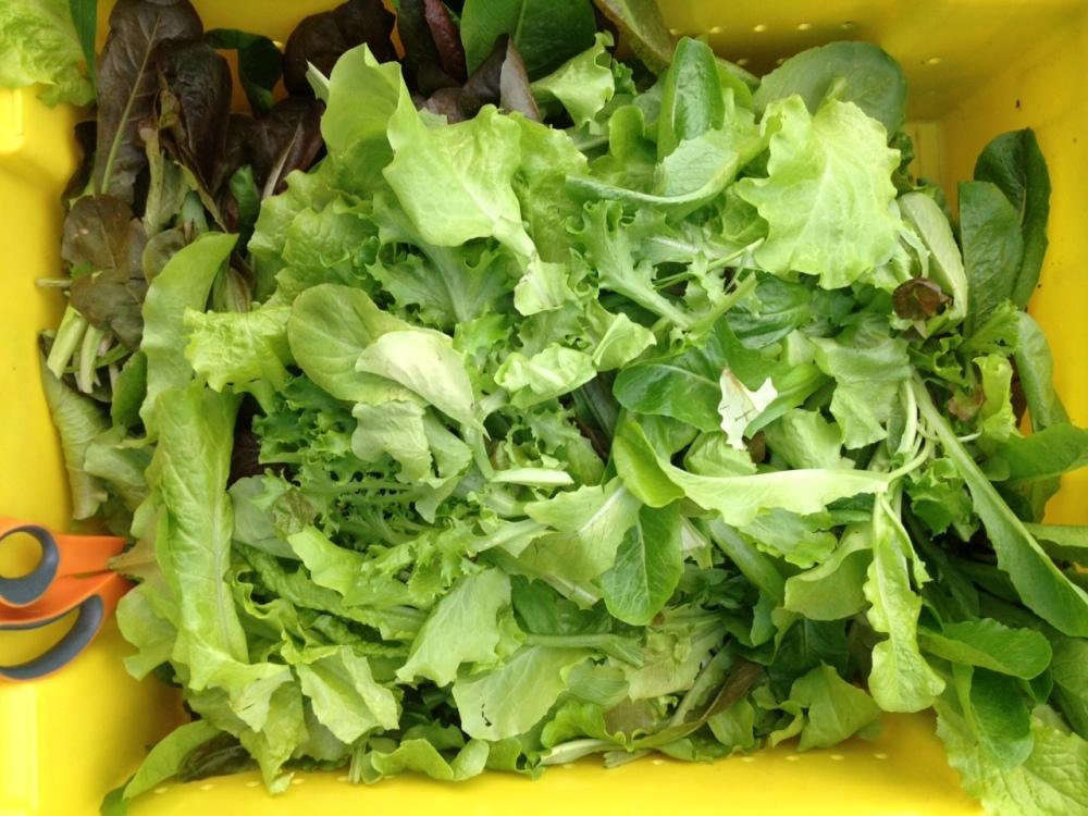 Harvesting salad for market.