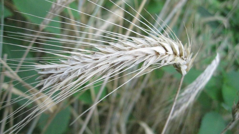 Rye ready for harvest. 3