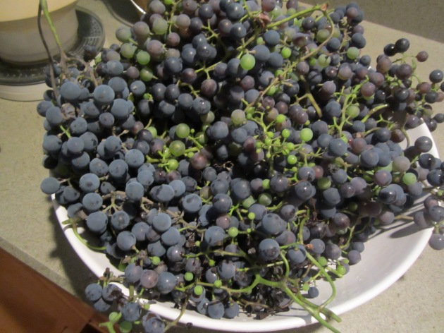 Five pounds of grapes, stems on
