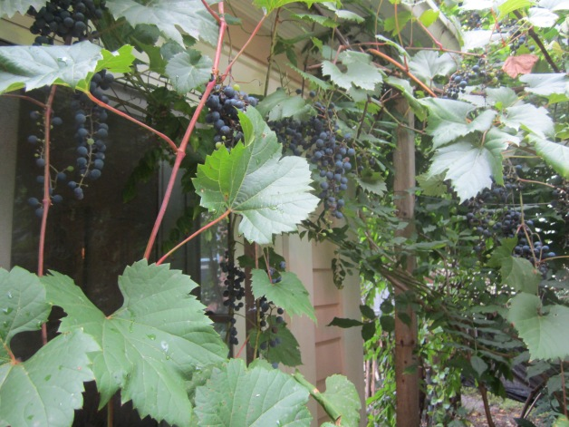Grapes trellised on the side of our house