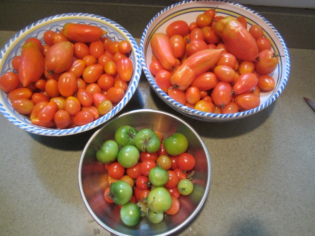 Bowls of tomatoes, waiting for fruit flies to find them